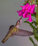 Female Broad Billed Hummingbird