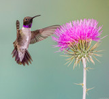 Male Black-Chinned Hummingbird