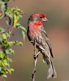 Just a house finch