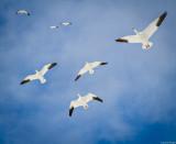 Snow Geese Overhead