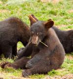 Playful Bear Cub