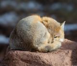 Yazzie swift fox