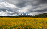 Flagstaff Sunflowers