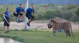 Tiger Splash Fun