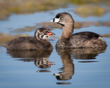 Pied-Billed Grebe with chick