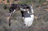 Hilda, an African Eagle Hawk