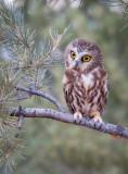 Stihl, Saw-whet Owl