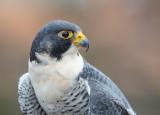 Cade, Peregrine Falcon