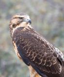 Emily, Swainson's Hawk