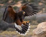 Coda, Harris's Hawk
