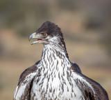 Hilda, African Eagle Hawk