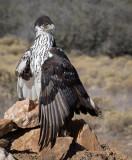 Raptors at Arizona's Raptor Experience