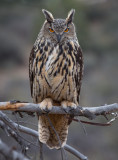 Goliath, Eagle Owl