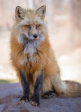Cassidy  Red Fox