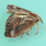 4685 Purple-crested Slug - Adoneta spinuloides
