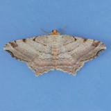 6353 Many-lined Angle - Macaria multilineata