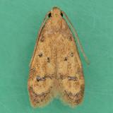 1144 Gerdana Moth - Gerdana caritella