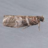 5802 Sweetgum Leafroller - Sciota uvinella