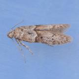 1162 Acorn Moth - Valentina glandulella