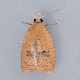3731  Lentiginos Moth - Sparganothis lentiginosana