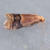 5999  Broad-banded Eulogia - Eulogia ochrifrontella