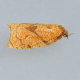 3720  Reticulated Fruitworm - Sparganothis reticulatana