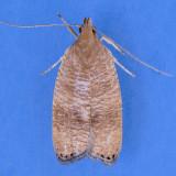 0956 Black-fringed Psilocorsis  - Psilocorsis cryptolechiella