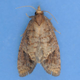 383 Texas Grass-tubeworm - Acrolophus texanella