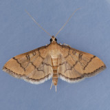 5182 Hollow-spotted Blepharomastix - Blepharomastix ranalis