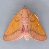7709 Honey Locust Moth - Sphingicampa bicolor