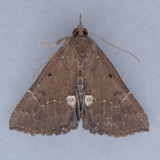 8443 Dimorphic Bomolocha - Hypena bijugalis
