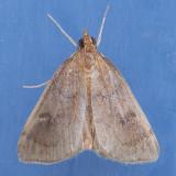 4936  Saucerobotys futilalis