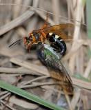 Cicada Killer with prey