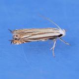 2211 Polyhymno Moth - Polyhymno luteostrigella