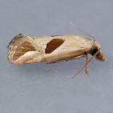 3763  Narrow-patch Carolella Moth - Carolella bimaculana