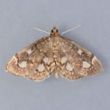 4953  Crowned Phlyctaenia  - Anania plectilis