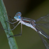 Southern Spreadwing and maybe a Northern