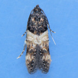 1615 Sweet Clover Root Borer - Walshia miscecolorella