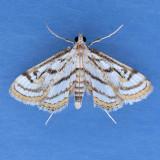4761  Chestnut-marked Pondweed Moth - Parapoynx badiusalis