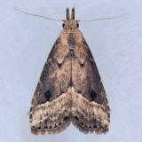 8431  Black-spotted Schrankia - Schrankia macula