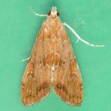 4751 Waterlily Borer  - Elophila gyralis