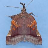5563 Trumpet Vine Moth - Satole sacculana