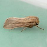 10444   Phragmites Wainscot - Leucania phragmitidicola