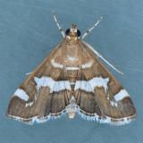 5170 Hawaiian Beet Webworm - Spoladea recurvalis