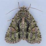 9619 Spotted Phosphila - Phosphila miselioides