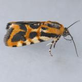 9127 Common Spragueia - Spragueia leo
