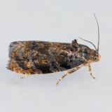 2831  Pristerognatha fuligana