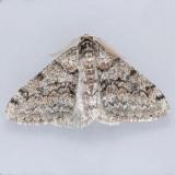 6659 Toothed Phigalia - Phigalia denticulata
