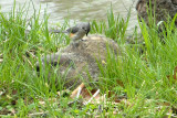 Woodchuck and Tufted Titmouse