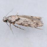 1868  Pseudotelphusa basifasciella